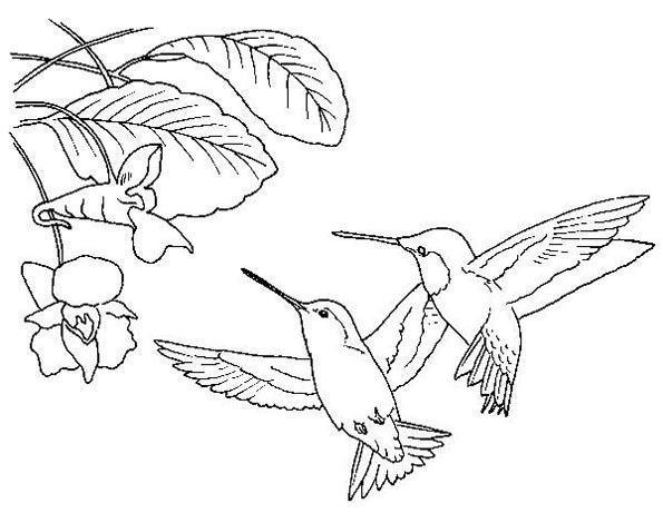kolibri malvorlagen